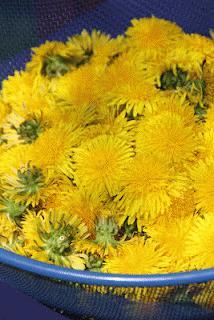 Zdjęcie - miód z mniszka - Przepisy kulinarne ze zdjęciami